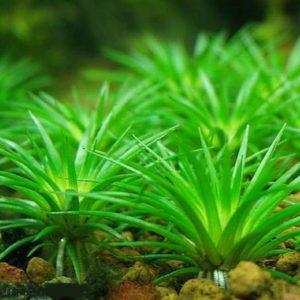 Eriocaulon parviflorum