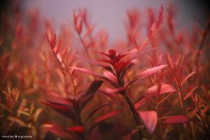красный аквариум