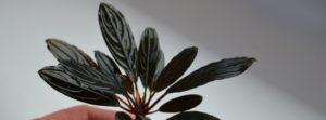 Bucephalandra dark achilles