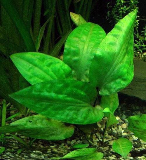 Cryptocoryne pontederiifolia (понтедереволистная)