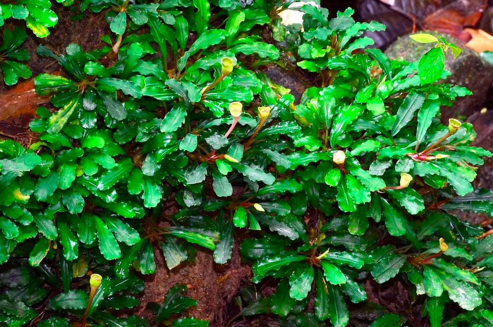 Буцефаландра Sintang (Bucephalandra sp. Sintang)