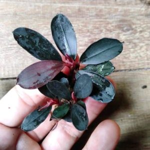Bucephalandra sp. pandora queen