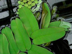 Salvinia oblongifolia
