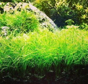 меристемные аквариумные растения