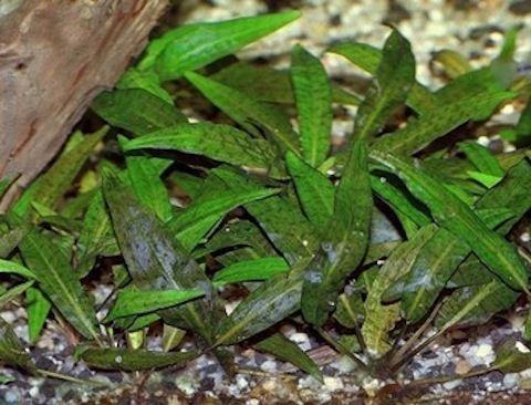 Cryptocoryne affinis (родственная)