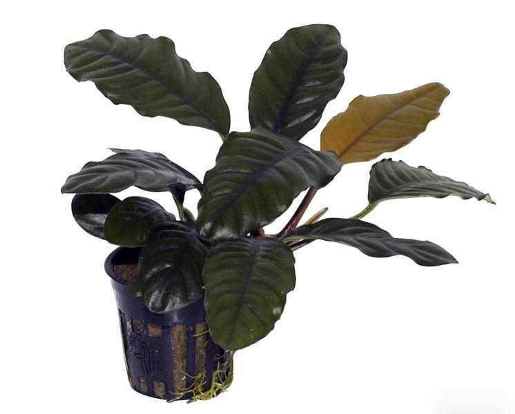 Anubias barteri var. Caladiifolia («Кофейнолистный»)