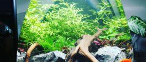 В целом растение предпочитает воду с низкой или средней жесткостью и нейтральным уровнем кислотности. Также допускается слабокислая среда. Слишком жесткая вода с ярко выраженной щелочной реакцией губительна для папоротника.