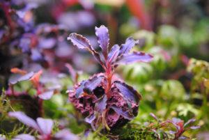 Bucephalandra Kedagang Purple