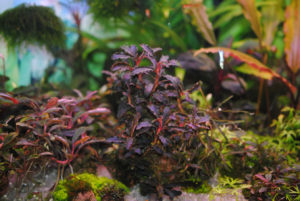 Bucephalandra Kedagang Red Godzilla