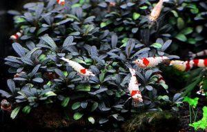 Bucephalandra Kedagang Mini round