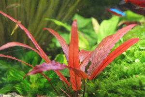 Barclaya sp Peruviana