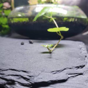 Гидрокотила белоголовая