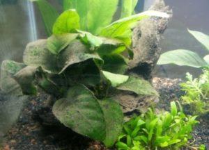 Почему гибнут растения в аквариуме